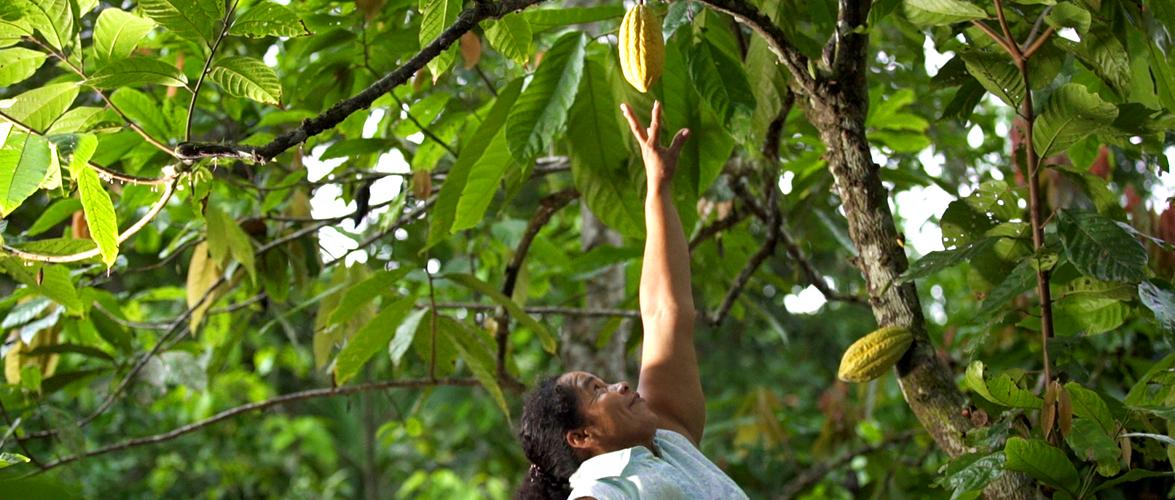 Fairtrade chocolate women reaching for cacao pod in Ecuador